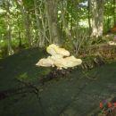 joss jedna slika ZZuti kruh gljive