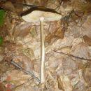 CC1 ssteta ssto ne znam visse o ovoj gljivi sa mojih prostora valjda nauccim