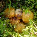 Bogami nabrah se ja ovoga ljeta gljiva i gljiva