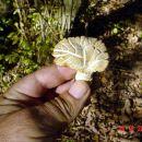 Ovo su stari prosenjaci - Hydnum repandum. Više nisu za upotrebu, iako su inače jestivi.