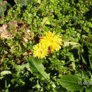 Rumena roža z bučelico