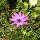 Lila roža