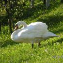 Domači labod v purmanski drži