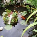 koi krapi v ribniku zraven otoka