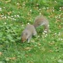 Veverica v  parku St. James