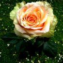 roža skritega zla