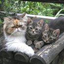 Smo štirje mačji korenjaki: Japec, Kan, Juta in Šir - ter iščemo nov, skrben in ljubeč dom