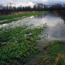 poplavljena ogrščica na barju