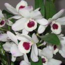 Dendrobium nobile-alba