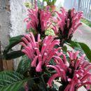 Cvijet koji se zove Jakobina. Vrlo interesantna biljka