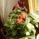 Aeschynanthus lobbianus (radicans) - the lipstick plant