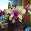 Dendrobium #5