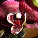 Phalaenopsis #4