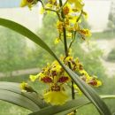 Oncidium Golden Aniversary