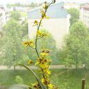 Oncidium Golden Aniversary