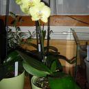 Phalaenopsis #6