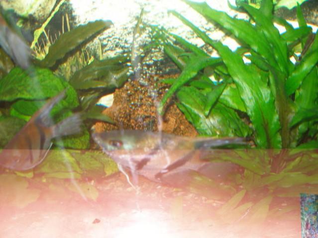 Bolane ribe - foto