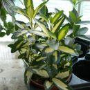 euonymus japonica golden maiden
