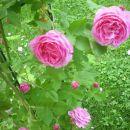 vrtniva vzpenjalka