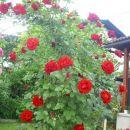 vrtnica vzpenjalka