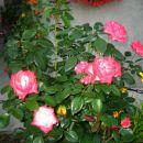 velikocvetna vrtnica Nostalgie