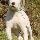 TAYSON  DOGO ARGENTINO